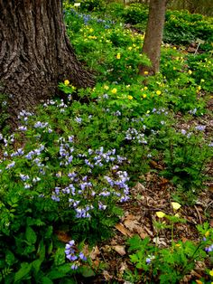 Virginia bluebells and Celandine poppy in my woodland Well you might have to plant a few first. What am I talking about? How to create your very own woodland filled with native plants. I have wr… Woodland Plants, Woodland Garden, Garden Shrubs, Garden Paths, Garden Tips, Jardim Natural, Virginia Bluebells, Olive Garden, Forest Garden