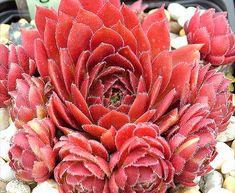 Sempervivum 'Pacific Hep'