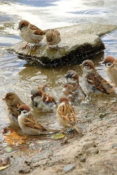 Spring bath.  A mixed flock of House Sparrows (gray crowns) and European Tree Sparrows (black face spot). In the US,  European Tree Sparrows are only found in the St. Louis area.  House Sparrows are found everywhere.
