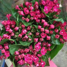 Bouvardia (Double variety) called 'Diamond Cerise'.Sold in bunches of 10 stems from the Flowermonger the wholesale floral home delivery service.
