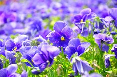 Viola Flower Field Stock Photo (Edit Now) 94245085 Japanese Flower Names, Japan Flower, Flowering Cherry Tree, Blossom Garden, Most Popular Flowers, Flower Meanings, Buxus, Beautiful Red Roses, Image Nature