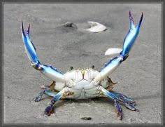 """Maryland Blue Crab """"kaitlyn go do the dishes!"""""""" WHY I DID THEM FOR LIKE TWELVE YEARS IN A ROW!!!!!"""""""