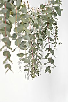 A quick (and easy) DIY eucalyptus garland - DIY home decor - Your DIY Family Here is a quick and easy diy eucalyptus garland to make this Christmas. This eucalyptus garland makes a really pretty backdrop to a dining table. Minimal Christmas, Scandi Christmas, Easy Christmas Crafts, Simple Christmas, Christmas Decorations, Homemade Christmas, Christmas Garlands, Greenery Garland, Flower Garlands