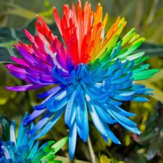 Favorable 20Pcs Rainbow Chrysanthemum Flower Seeds Rare Color Home Garden Bonsai Plant - NewChic Mobile