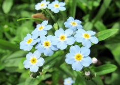 TRUE FORGET-ME-NOT: (Myosotis scorpioides). Photograph taken May 19, 2013 at Beaver Creek State Park, near East Liverpool, Ohio