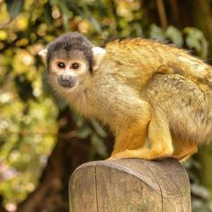 """Happy World Animal Day! The purpose of World Animal Day is to """"raise the status of animals in order to improve welfare standards around the globe."""" Here is my own photograph I took of a black-capped squirrel monkey during my visit to London Zoo back in May. Squirrel monkeys live in the tropical rainforests of Central and South America. Due to pet trade and medical research these monkeys are considered a threatened species. #squirrelmonkey #monkey #worldanimalday #animal #nature…"""
