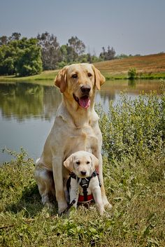 Yellow Labs of Canine Hope for Diabetics by fwisneski, via Flickr