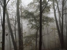 Really like this one.  Sugar Maple Trees Stand Out in a Misty Woodland Scene, Monongahela National Forest, West Virginia