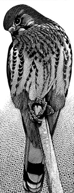 Kestrelby Colin See-Paynton. Wood engraving. Size: 10 x 4 inches in an edition of 49. http://www.see-paynton.co.uk/ Tags: Wood engraving, British Artist, Helen Elstone, Bird of prey, Feathers, Claws, Beak, Eyes, Printmaking, Block Print.