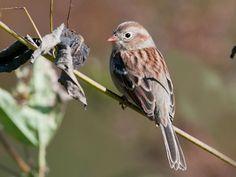 Adult Field Sparrow