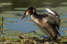 Great crested grebe on the nest stock photo Royalty Free Images, Nest, Stock Photos, Photography, Nest Box, Photograph, Fotografie, Photoshoot, Fotografia
