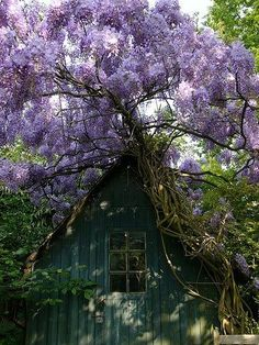 Photo by RenéDB. I know it's not a pergola photo but love wisteria--just need to research the most appropriate kind for our pergola. Beautiful Gardens, Beautiful Flowers, Fachada Colonial, Wisteria Tree, Purple Wisteria, Wisteria Tunnel, Purple Trees, Purple Rain, Purple Flowers
