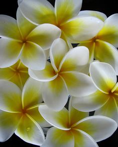 Frangipani by *omnia* on flickr