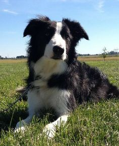 Mila is an #adoptable Border Collie --- - courtesy post w/ the The Truth About Dogs Rescue in #Plymouth #Indiana