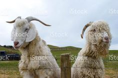 An Angora Goat and it's Goat friend stand side my side looking over a. My Side, Friend Photos, Image Now, Goats, Royalty Free Stock Photos, Portraits, Friends, Amigos, Boyfriend Photos
