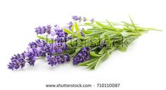 Lavender flowers bunch on a white background Bunch Of Flowers, Lavender Flowers, Summer Flowers, Green, Pictures, Plants, Activities, Lavender, Bouquet Of Flowers