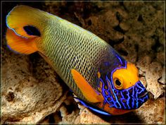 Blueface Angelfish(Pomacanthus xanthometopon)