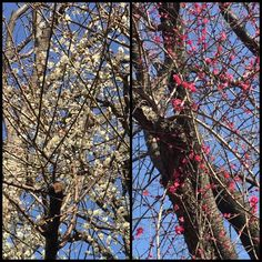 【rockyjapan】さんのInstagramをピンしています。 《The sky is blue.  Plum flowers are beautiful. But so cold everyday. 青空綺麗で梅の花綺麗けど三毎日寒い〜〜 きれいに咲いてたパンジーとボタン。寒いけどホッとします。#Japan #winter #冬 #日本 #nature #自然 #梅 #forest #森 #park #flower #花 #梅林 #花見》