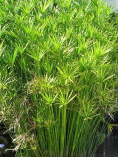 Family Cyperaceae; Genus Cyperus; Species alternifolius; Umbrella Plant