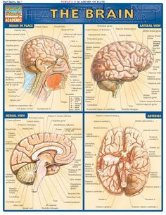 The Brain Review Guide