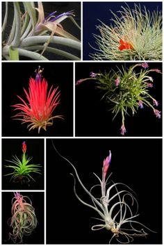 Air Plants...No dirt? no worries, they don't need it! One of my favorite plants for a crazy home life....