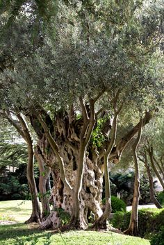 Watching the ✯ Olive Tree :: Jerusalem, Israel ✯ The texture here is amazing, I had never seen anything like that before.