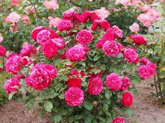 róża w ogrodzie fot. T.Kiya Pink Roses, Flower Power, Pergola, Flowers, Plants, Beautiful, Gardens, Sweet, Candy