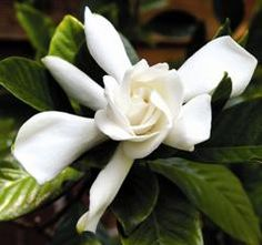 FIVE TIPS FOR GROWING GARDENIAS   1) Keep the soil moist, making sure gardenias get at least an inch of water a week.  2) Deadhead (cut dead blooms) to encourage more flowering.  3) Use an insecticidal soap or horticultural oil to prevent pests, such as white flies and mealybugs.  4) Remember that high humidity is essential, but keep the shrubs partially shaded.  5) Apply 2 to 4 inches of organic mulch to keep the soil moist.