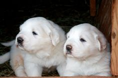 Great Pyrenees Dog pHOTO | Two Great Pyrenees puppies photo and wallpaper. Beautiful Two Great ...
