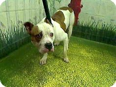 Act quickly to adopt . Pets at this Shelter may be held for only a short time Atlanta, GA - American Pit Bull Terrier. Meet 460074 a Dog for Adoption.