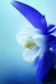 ~~Blue Beauty | Columbine by j man~~