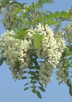 Black locust--one of many invasive plant species in NW Portugal. Acacia, Flowering Trees, Trees And Shrubs, Herb Garden, Garden Plants, Plant Design, Garden Design, Pic Vert, Natural Fence