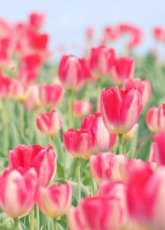 Red and White Tulips still life by FloatingLeafArts on Etsy