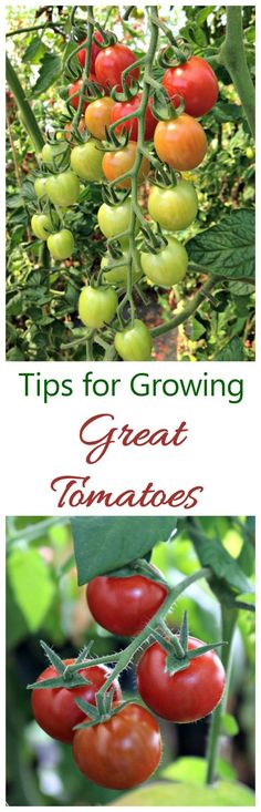 One of the nicest things about summer is the taste of home grown tomatoes. Follow these tips for growing great tomatoes to make sure you have a bumper crop this year.