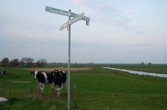 Kühe im Rheiderland.