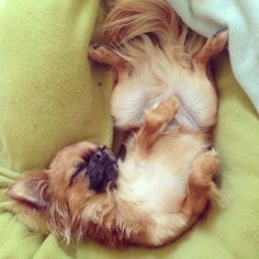 Chihuahua Harybo en train de faire la sieste !!