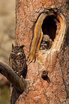 Great Horned Owl by lfbaxter…