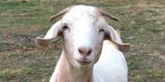 Yoga + Baby Goats at the Animal Welfare League of Arlington tickets