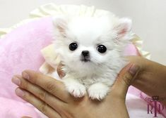 Teacup Chihuahua | ... Tinker Bell* Adorable LC Micro Chihuahua ::: Royal Teacup Puppies