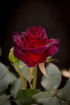 Red Rose٠•●♥ Ƹ̵̡Ӝ̵̨̄Ʒ ♥●•