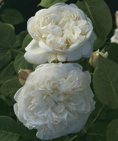 The English rose Fair Bianca. Sadly she was a victim of Hurricane Isabel.
