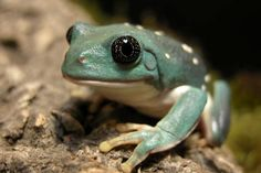 Giant Mexican Leaf Frog by kirklandj, via Flickr http://on.fb.me/Irzzrm