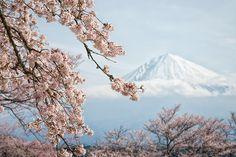 Japon Le printemps envahit tôt dans l'année le versant sud du mont Fuji. Alors que les habitants des villes au nord grelottent encore, au sud les cerisiers sont déjà en fleur. En arrière-plan, le mont Fuji atteint 3 776 mètres