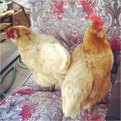 I call this: Not-So-Still Life - Chickens on a Chair