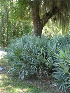 Saw palmetto grows wild in Florida's natural areas, but it's also a great plant for home landscapes throughout the state.  #April #SawPalmetto #Palms