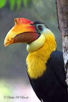 The Wrinkled Hornbill (Aceros corrugatus) or Sunda Wrinkled Hornbill is a medium-large hornbill which is found in forest in the Thai-Malay Peninsula, Sumatra and Borneo. Pretty Birds, Beautiful Birds, Animals Beautiful, Cute Animals, Kinds Of Birds, All Birds, Love Birds, Tropical Birds, Exotic Birds