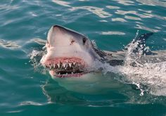 Great White Shark keeps the head above water while showing us a fine look at the teeth.