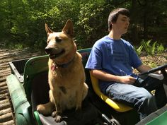 Cruising the woods at long pond. #cattledog  #ACD #redheeler #thewoodsatlongpond
