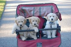 Goldendoodle Puppies in Training - Moss Creek Goldendoodles
