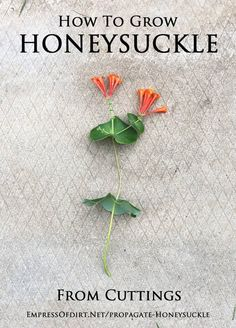 How to grow honeysuckle from cuttings {Propagation Tips}